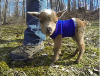 Dixie our little Nigerian Dwarf Goat doeling at guardians farm in connecticut